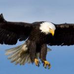 animals_hero_bald_eagle